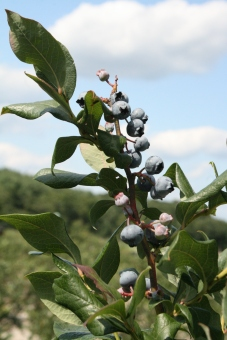 apple-montessori-blueberry-picking